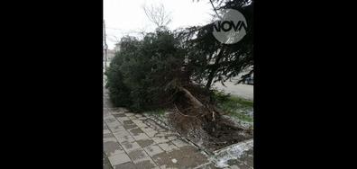 Изкоренено от бурята дърво в Карлово