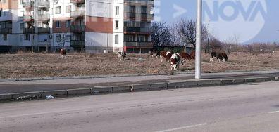 Крави на булеварда