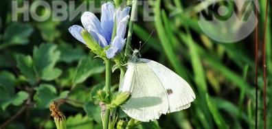Неделни пеперуди