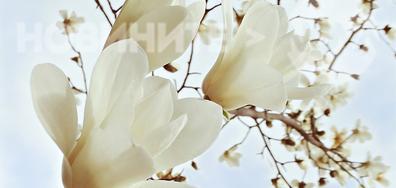 Вълшебно красива бяла магнолия...