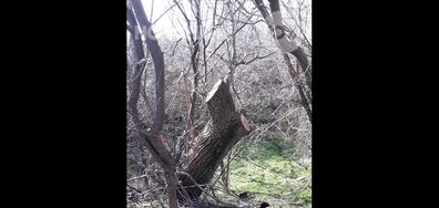 Масова сеч на 150-годишни дървета