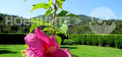 Красива старопланинска ружа