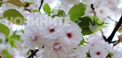 Красивият цвят на японската вишна
