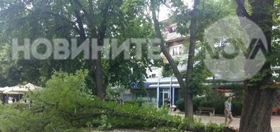 Паднало дърво на главата улица в Кюстендил