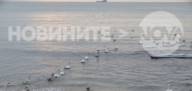 Лебеди плуват по слънчевата пътека