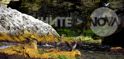 В пещерата, която е царство на кормораните в с. Тюленово