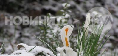 Бял минзухар в снежната утрин