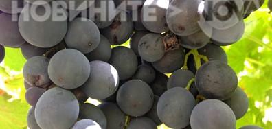 Гроздето налива плод под щедрото августовско слънце