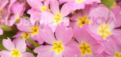 Иглики в най-нежния пролетен цвят