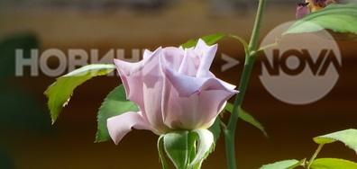 Царицата на цветята!