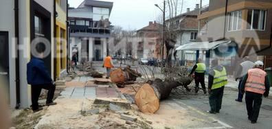 Изсичане на стари дървета в Приморско