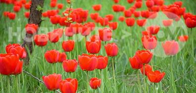 Червена полянка!