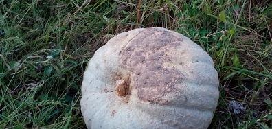50-килограмова тиква