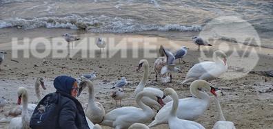 Лебеди на брега край Варна