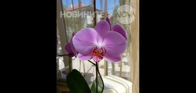 Усмивката на орхидеята