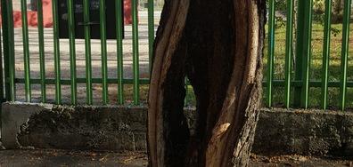 Опасно дърво на входа на училище