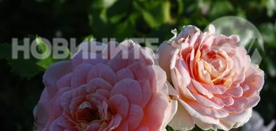 С ухание на рози!