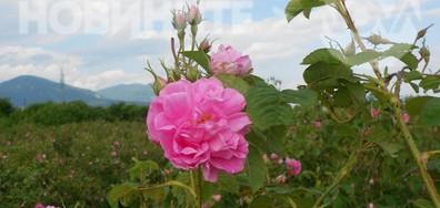 Розови градини