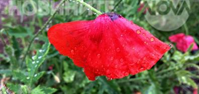 Нежно макче под майския дъжд