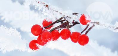 Цветен акцент от снежна Рила