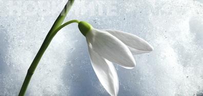 Бяла нежност сред белия сняг