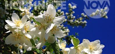 Бели цветчета на невероятно синьото небе днес