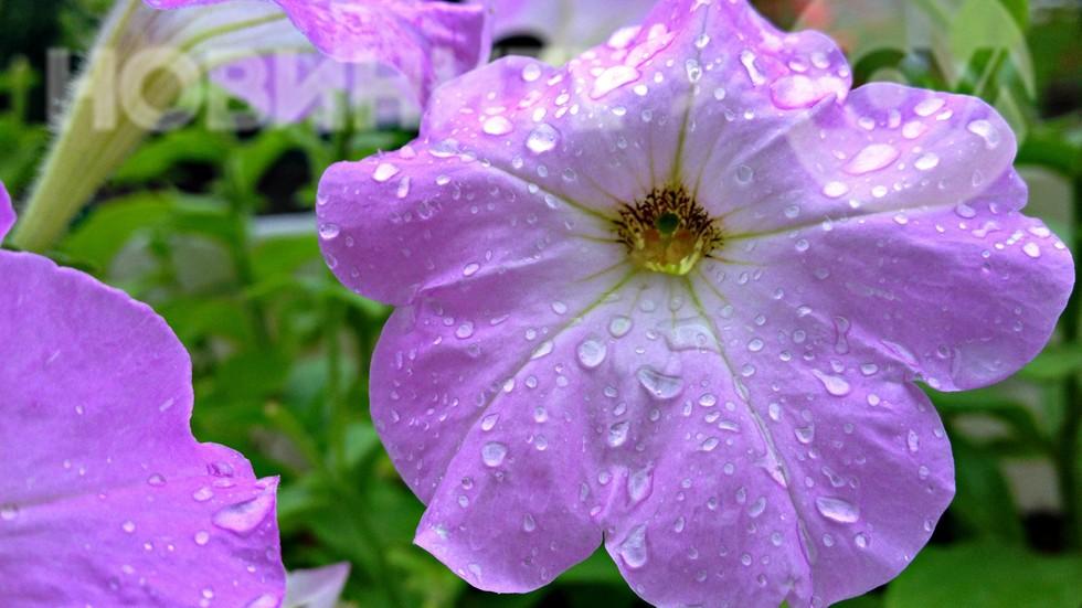 Нежност под юлския дъжд
