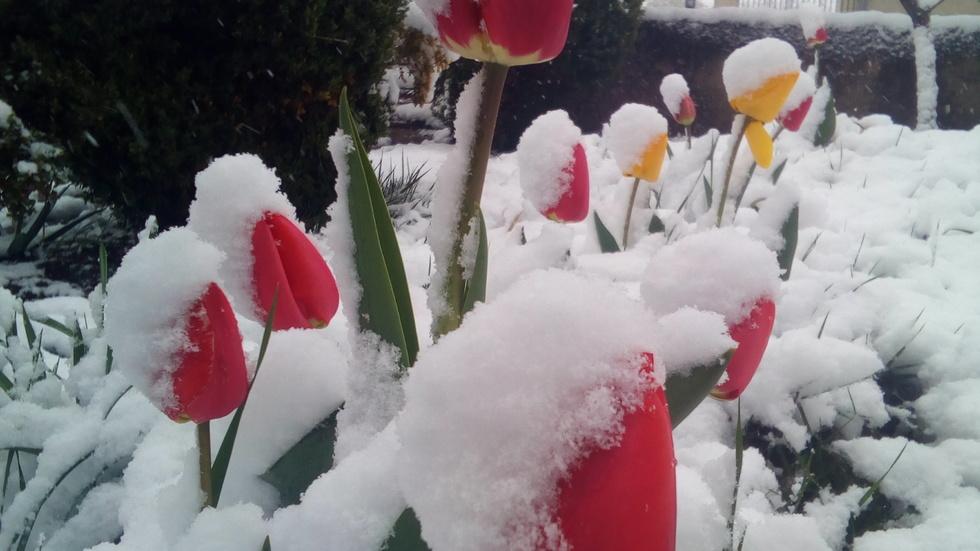 Априлските кокичета в Драгоман