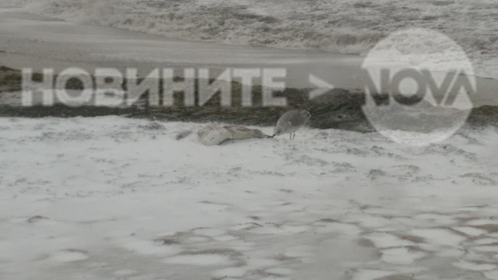 Мъртъв лебед на брега във Варна