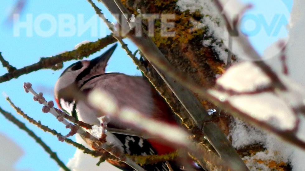 Кълвачът - лечителят на гората