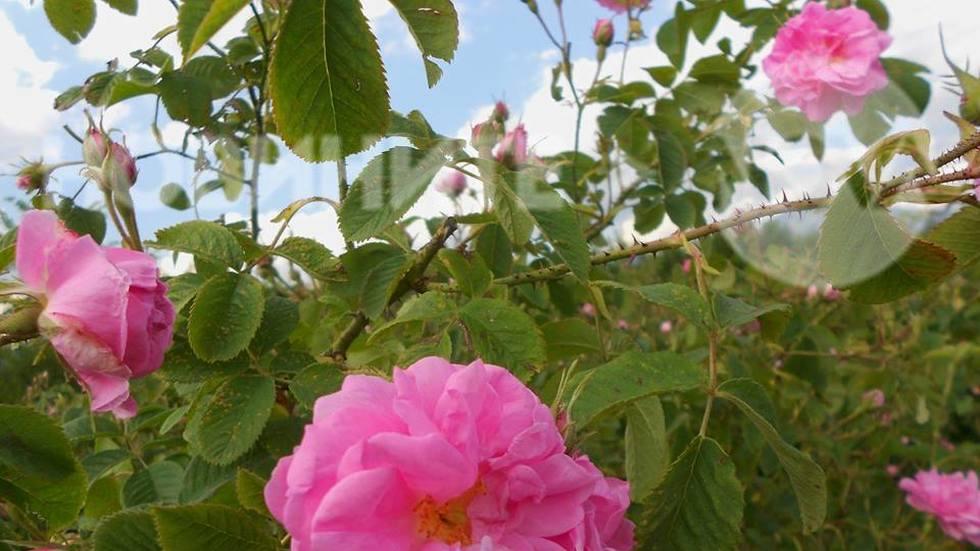С дъх на маслодайна роза