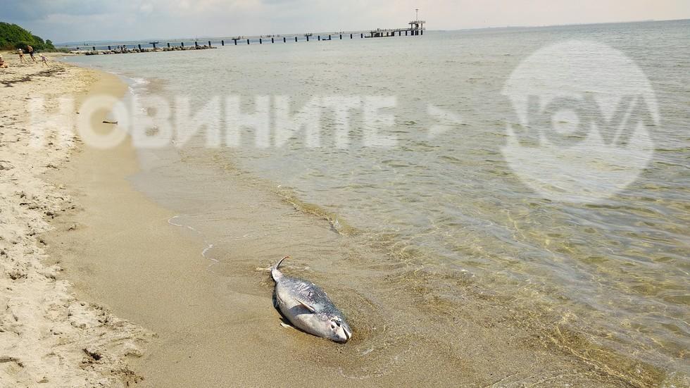 Мъртво делфинче
