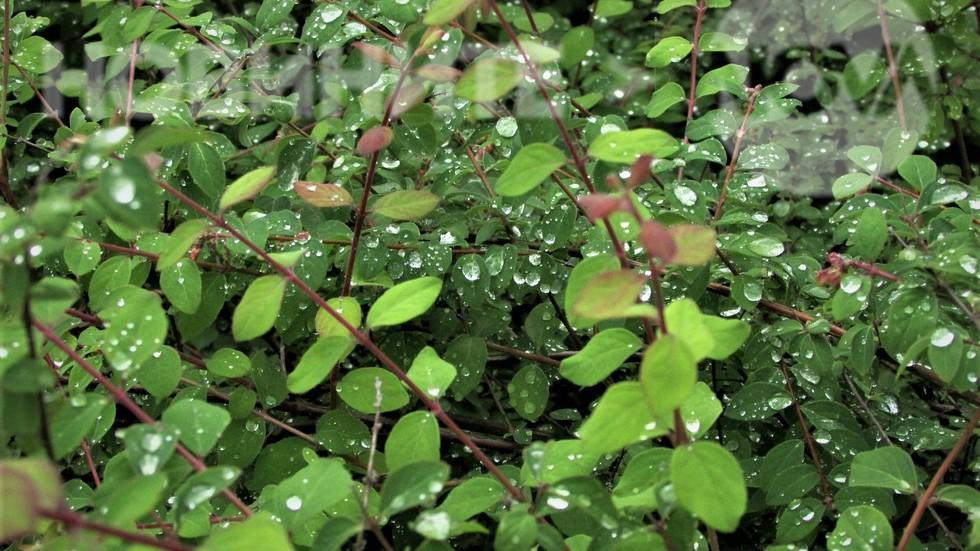 Дъждовни бисерчета