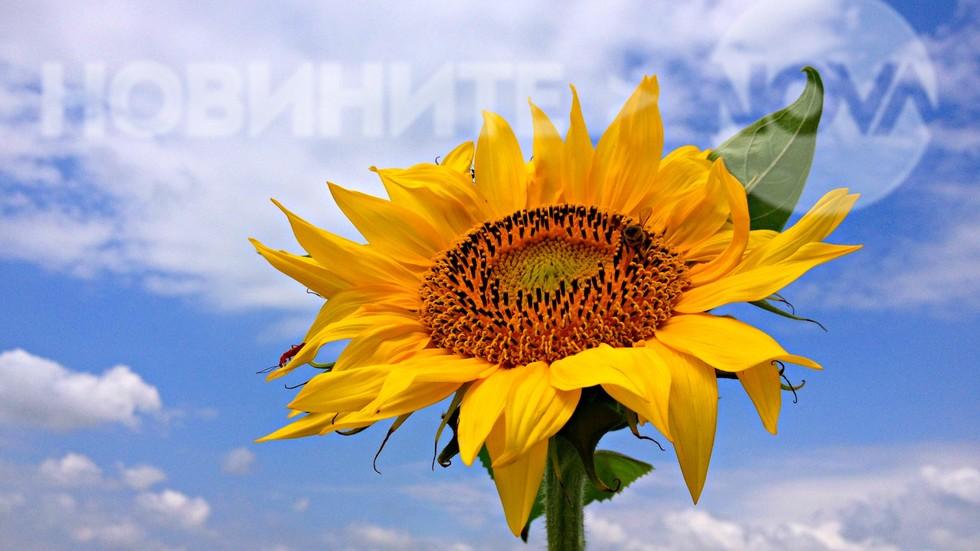 Цвят на слънчоглед