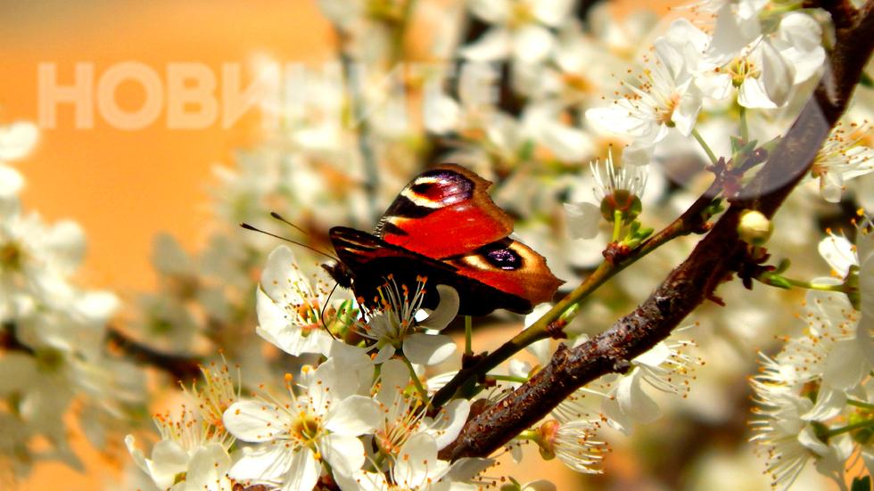 Красивата пеперуда и днес позира за ефира