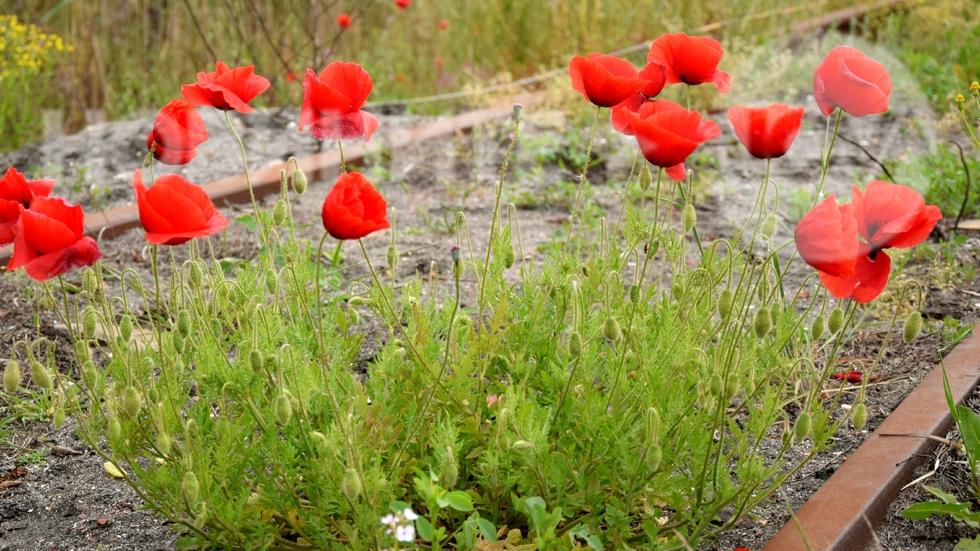 Червените лалета