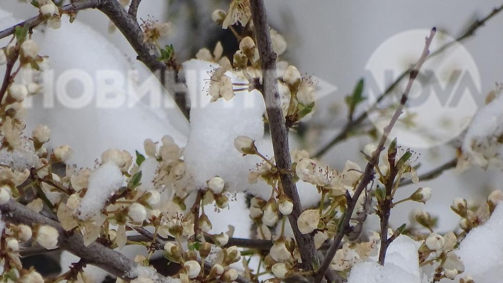 Цъфналата снежна пролет