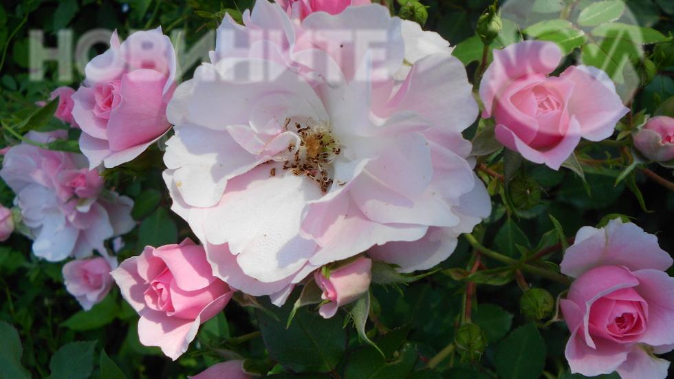 Розова нежност