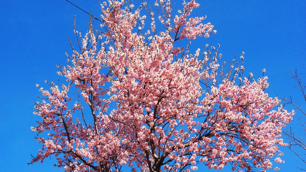 Бадемова пролет
