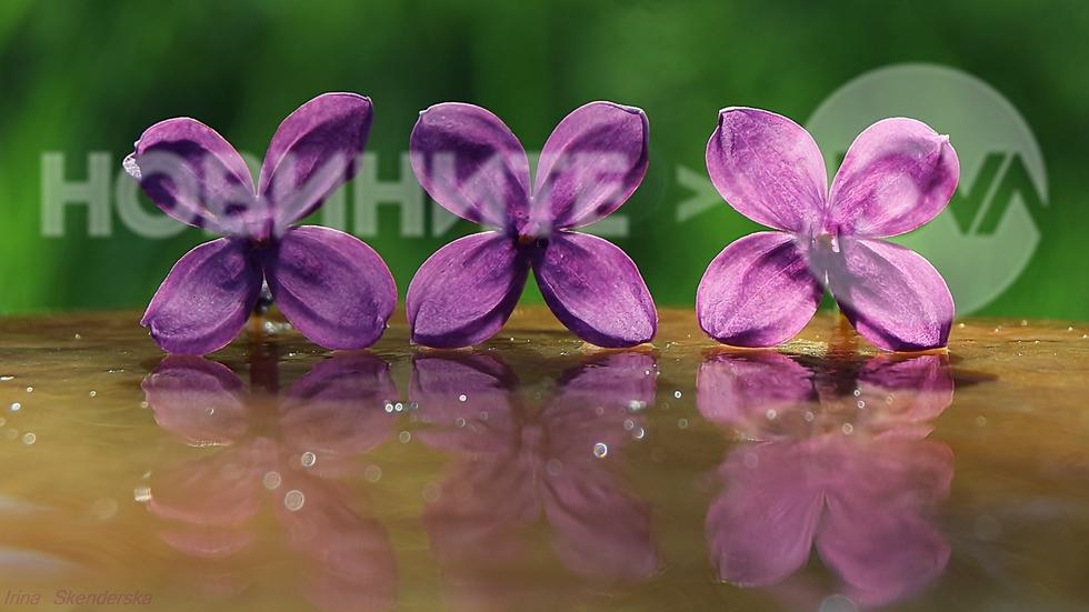 Люлякови цветчета
