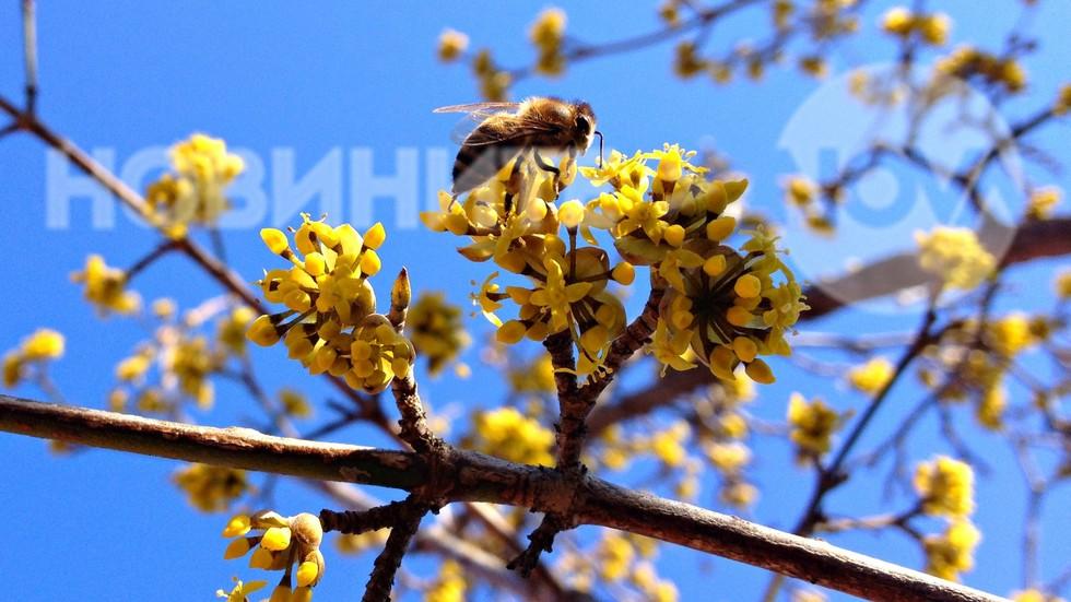 Пролетно от цъфналия дрян