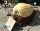 114-килограмова тиква се превърна в истинска атракция