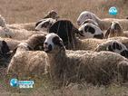 Земеделците извеждат и добитъка на протест пред министерството