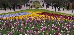 ЦВЕТЕН КИЛИМ: Над 40 000 лалета ще красят Варна (ВИДЕО)