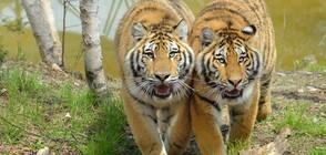Тигри и лъв избягаха от зоопарк в Чехия