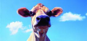 СПАСИТЕЛНА АКЦИЯ: Пожарникари извадиха 11 крави и телета от водоем (ВИДЕО)