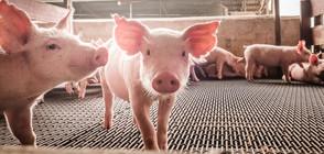 Африканска чума заплашва прасетата в Русенско