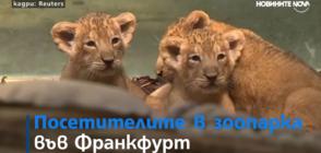 Лъвчета тризнаци радват посетителите на зоопарка във Франкфурт (ВИДЕО)