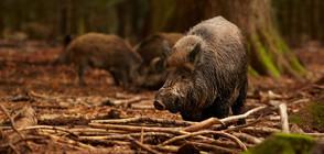Удължиха срока за ловуване на дивата свиня