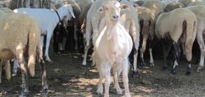 Около 400 животни в Шарково не са евтанизирани поради живите вериги